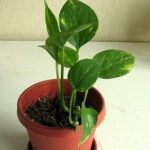 Potted devils ivy plant
