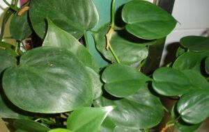 Whats in fairy gardens heartleaf philodeneron whats-in-fairy-garden-heartleaf-philodendron