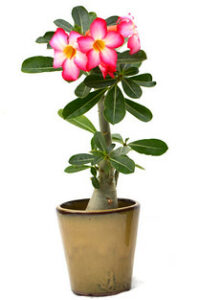 Whats in fairy gardens desert rose whats-in-fairy-gardens-desert-rose