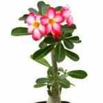 Desrt Rose Plant