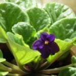 African violet plant with purple bl;oom