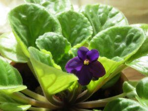 Whats in fairy gardens african violet