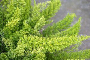 Whats in fairy gardens asparagus fern