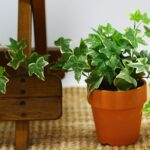 Potted english ivy plant indoors