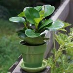 Potted peperomia plant outside
