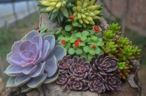 Whats in fairy gardens succulents