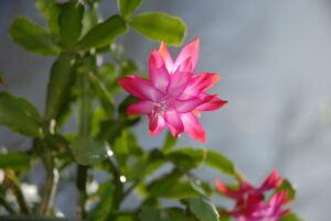 Whats in fairy gardens christmas cactuswhats-in-fairy-gardens-christmas-cactus