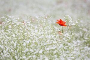 poppy-1128683_1280
