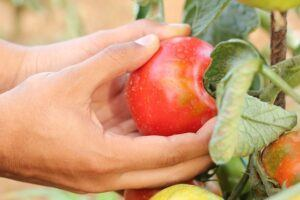 how to garden vegetables picking