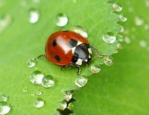 how to garden vegetables lady bug