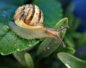 how to garden vegetables snail pest