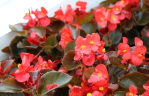 outdoor fairy garden ideas begonias