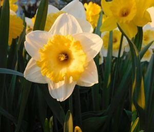 outdoor fairy garden ideas daffodils
