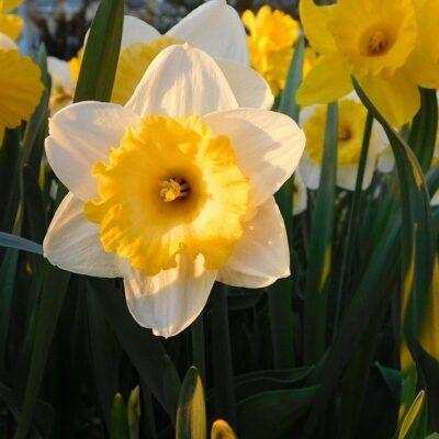 outdoor fairy garden ideas daffodilsOutdoor Fairy Garden Ideas – Yard Magic!❀Fairy Circle Garden