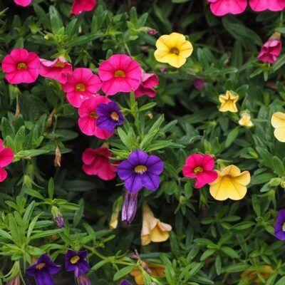 outdoor fairy garden ideas petunias