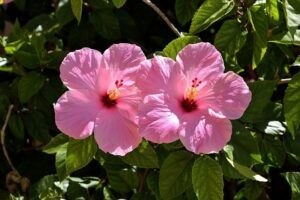 cheap garden plants hibiscus