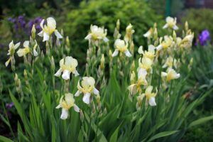 cheap garden plants irises