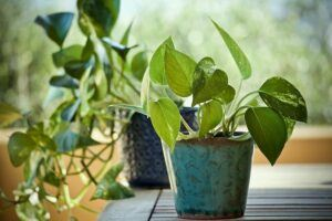 cheap garden plants pothos cheap-garden-plants-pothos