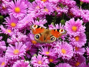 small butterfly garden plans astersmall_butterfly_garden_plans_aster