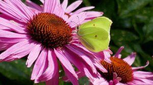 butterflygreenpurpleconeflower