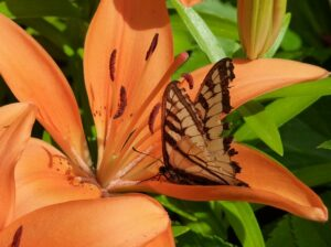 small butterfly garden plans lilliesSmall Butterfly Garden Plans