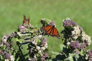 small butterfly garden plans milkweedSmall Butterfly Garden Plans