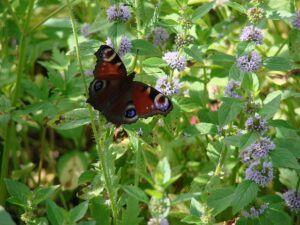 small butterfly garden plans mintSmall Butterfly Garden Plans