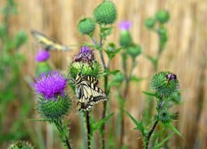 small butterfly garden plans thistlesmall_butterfly_garden_plans_thistle