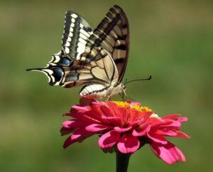 small butterfly garden plans zinneaSmall Butterfly Garden Plans
