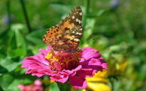 butterflyzinnia