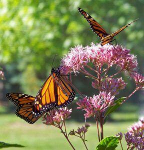 small butterfly garden plans monoarchsmall_butterfly_garden_plans_monarch